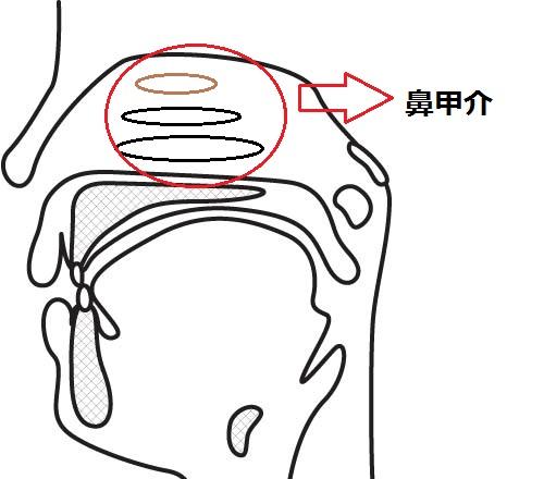 Nasal turbinate