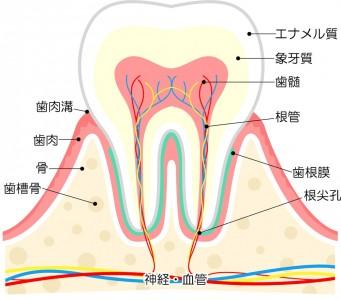 歯の構造1